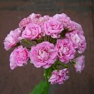 Eddy-Endah Store 10PCS Swanland Pink Australien Pink Rosebud Zonal Geranium Flower Seeds