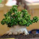 Eddy-Endah Store   Dorset Horn Adenium Seeds, 2pcs Dwarf Desert Rose Tree Bonsai Interesting Unique