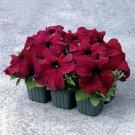 Eddy-Endah Store   Supercascade Burgundy Dark Red Petunia Annual Flowers 100 Seeds Heirloom Slightly