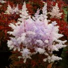 Eddy-Endah Store   Mixed 9 Colors Astilbe Chinensis Seeds 100PCS Bonsai Purple Red White Blue Pink G