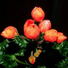 Eddy-Endah Store   Geranium Seeds Conny Orange Perennial 'Red Blossom Rosebud' Series