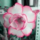 Eddy-Endah Store   Adenium White Petals Rose Red Edge Flowers Bonsai Desert Rose Seeds 2PCS Heirloom