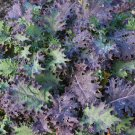 TM NEW SALE! Red Russian Kale 8000 Seeds