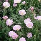 TM NEW SALE! Evening Primrose- showy pink (Oenothera Speciosa)- 500 Seeds