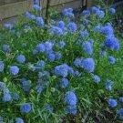 TM NEW SALE! 100 Seeds Gilia Capitata Queen Anne's Thimbles
