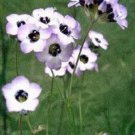 Bird's Eye Gilia Tricolor 100+ Seeds