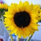 Sunflower Mammoth Grey Stripe 25+ Seeds