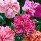 TM NEW Carnation Dianthus Caryophyllus Picotee Mix 50 seeds