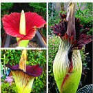Beautiful Flower of Indonesia,The World's Largest Flower,Corpse Flower,10pcs/Pack