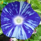 Imported Dark Blue Light Blue Stripe Morning Glory Seeds, 10 Seeds, very beautiful annual flowers