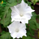 Imported Purely White Morning Glory Seeds, 10 Seeds, very beautiful annual flowers