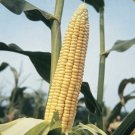 100 Golden Bantam Corn Seeds