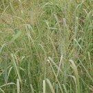 1000 Switch Grass Native Grass Seeds