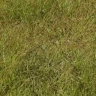 1000 Buffalo Grass Native Grass Seeds