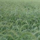 1000 Canada Wild Rye Native Grass Seeds