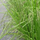 1000 Fowl Manna Grass Native Grass Seeds