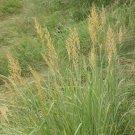 1000 Indian Grass Native Grass Seeds