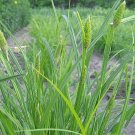 200 Common Cattail Sedge Native Grass Seeds
