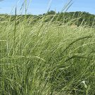 500 Green Needle Grass Native Grass Seeds
