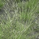 1000 Poverty Oat Grass Native Grass Seeds