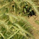 800 Virginia Wild Rye Native Grass Seeds