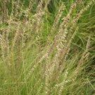 1000 Side Oats Grama Native Grass Seeds