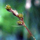 1000 Fox Sedge Native Grass Seeds