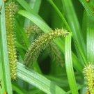 1000 Northwest Territory Sedge Native Grass Seeds