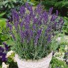 2000 Vera Lavender Herb Seeds