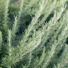300 Rosemary Herb Seeds