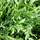 2000 Roquette Arugula Herb Seeds