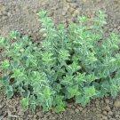 2000 Greek Oregano Herb Seeds