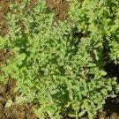 2000 Sweet Marjoram Herb Seeds