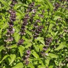 2000 Licorice Basil Herb Seeds