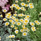 1000 Common German Chamomile Herb Seeds