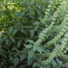 2000 Lemon Basil Herb Seeds
