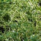 2000 Summer Savory Herb Seeds
