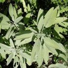 200 Broadleaf Sage Herb Seeds