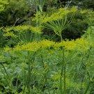 2000 Dukat Dill Herb Seeds