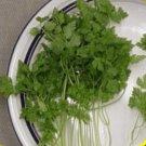 200 Winter Chervil Herb Seeds