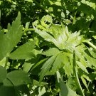 300 Lovage Herb Seeds
