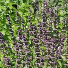 2000 Anise Basil Herb Seeds