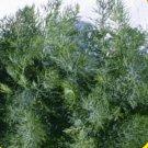 2000 Mammoth Long Island Dill Herb Seeds