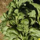 2000 Italian Large Leaf Basil Herb Seeds