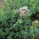 2000 Italian Oregano Herb Seeds