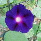 Morning Glory Ipomoea Kniolas Black 10 seeds