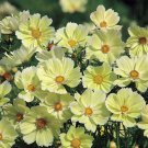 Cosmos SUNSET YELLOW Great Cut Flowers & Containers