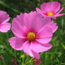 Cosmos GLORIA 3-5' Tall Huge Flower Blooms Magenta Center