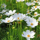 Cosmos PURITY ALL WHITE Angel Garden Huge Flower Blooms Tall