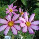 "Cosmos PICOTEE Sensation 3"" White Flowers Pink Edges, 4' Tall"